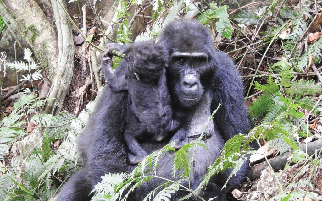 5 Days Gorilla Tracking Uganda & Wildlife Tour