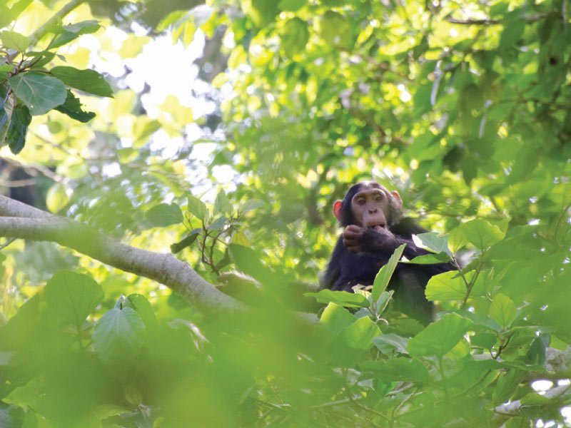 Chimp Tracking in Kibale Forest