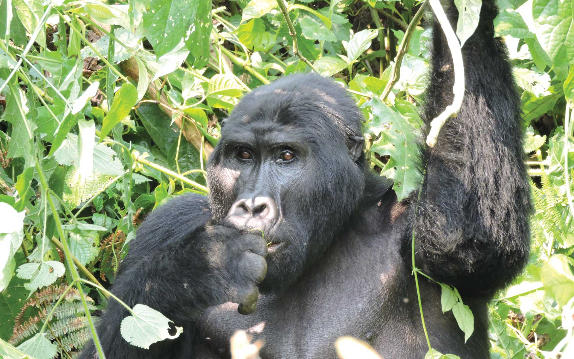 Gorilla Trekking Tour Bwindi Impenetrable Forest National Park