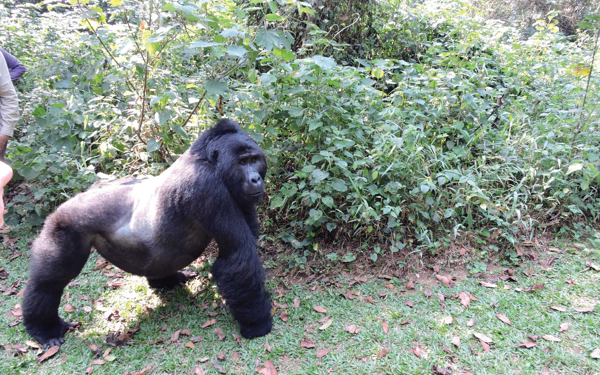 Gorilla Tracking in Bwindi Forest