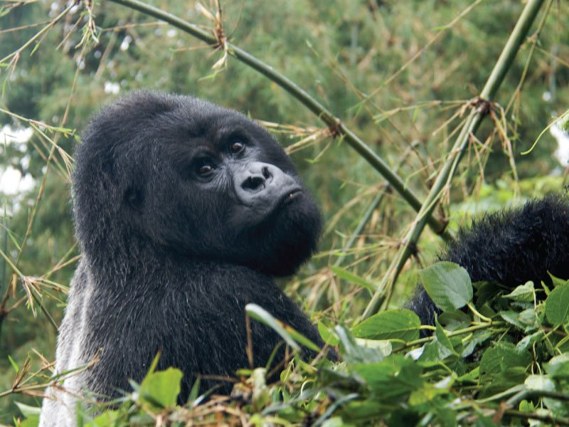 Gorilla Tracking Safari - Bwindi Impenetrable Forest National Park