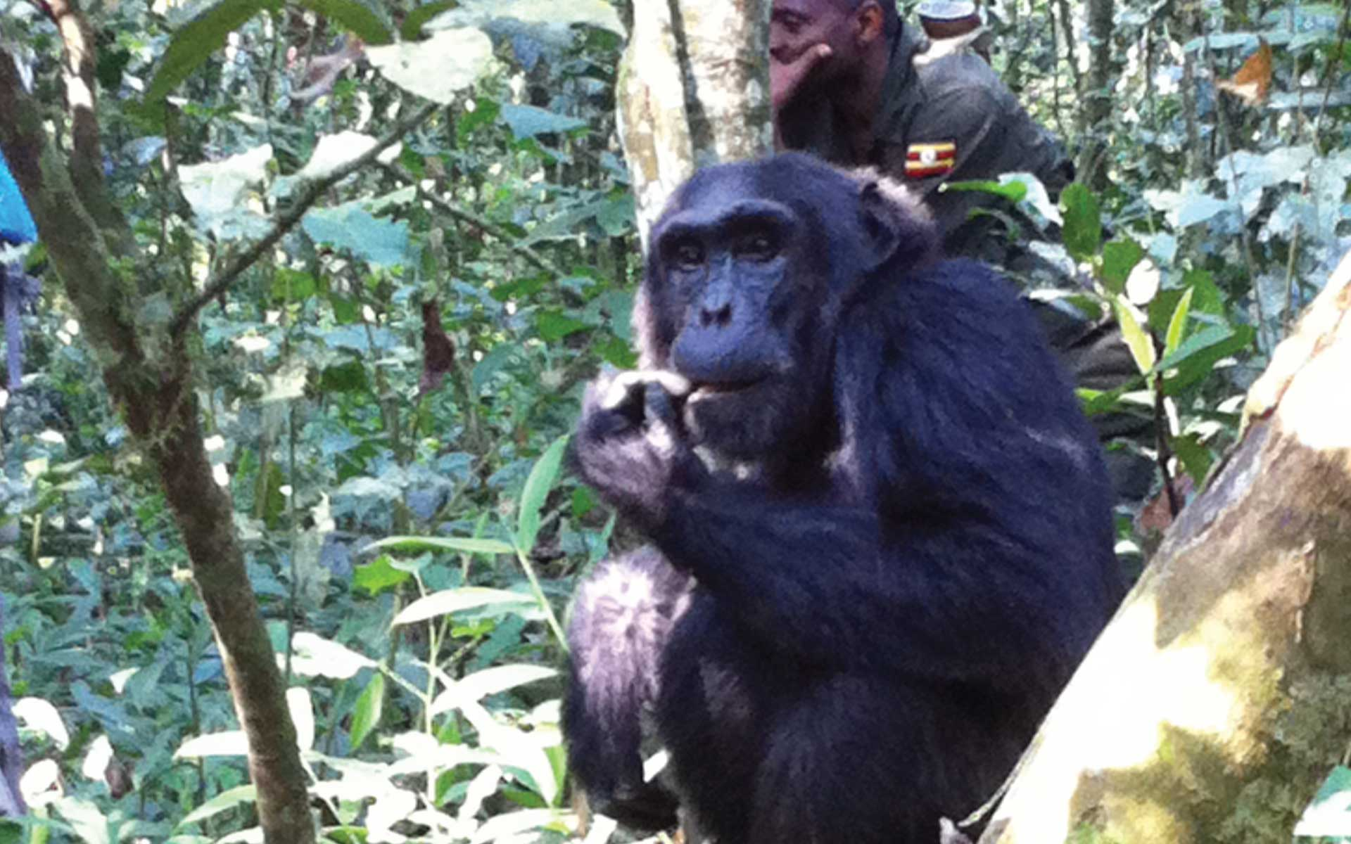 Kibale Forest National Park Chimpanzee Habituation