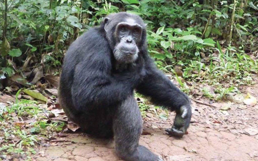 Rwanda Chimps Safari