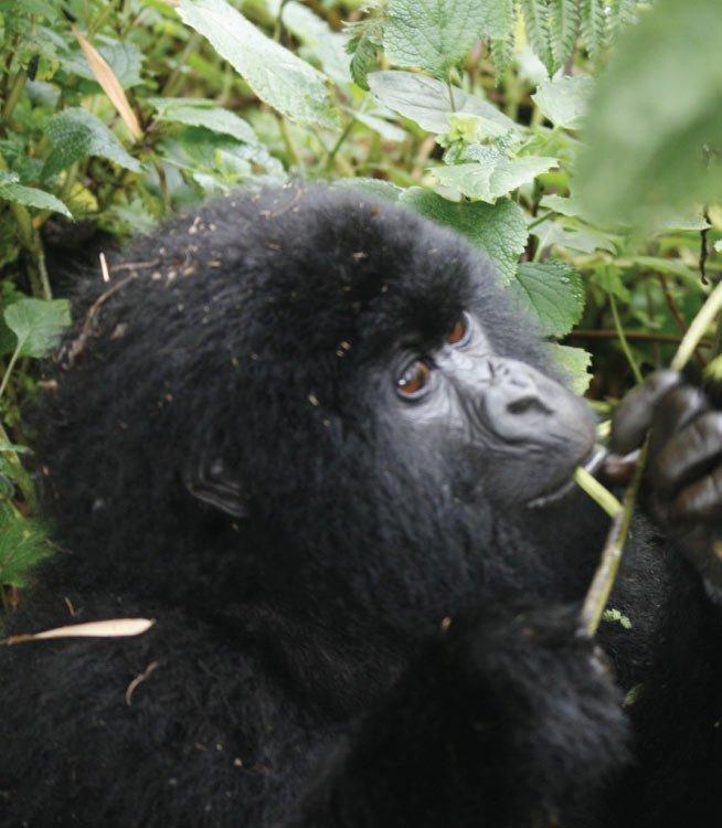 Rwanda Gorilla Trekking Adventure