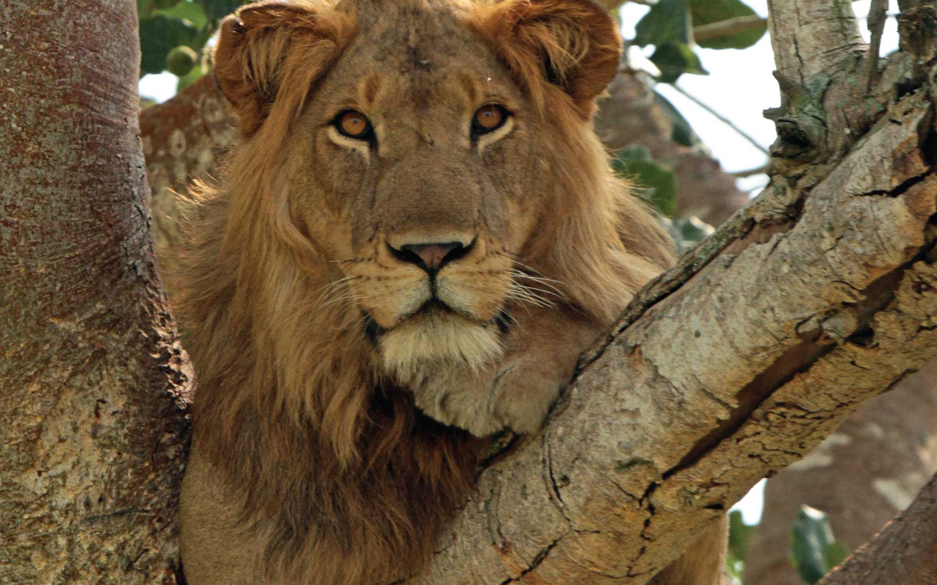 Best of Uganda Holiday Safari - Tree Climbing Lions of Ishasha