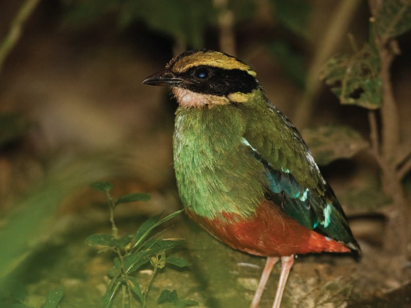 Green breasted Pita - Birding Uganda, Uganda Birders Paradise
