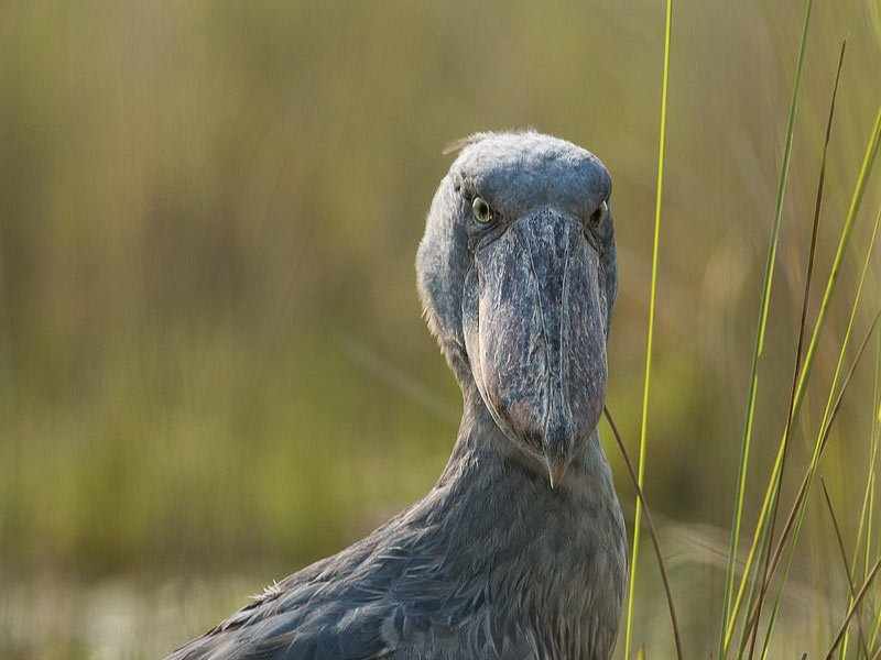 Shoebill Stocks Uganda Birders Paradise