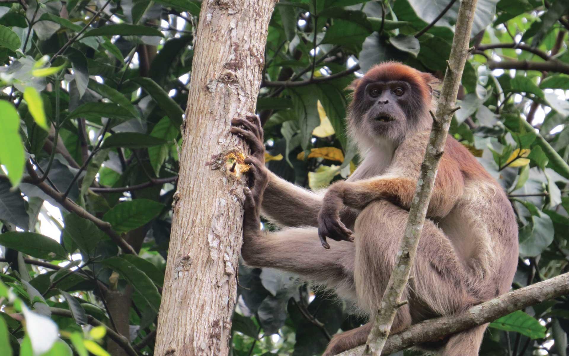 Bigodi Wetland Sanctuary Primates