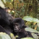 Double Gorilla Trekking in Bwindi: The Adventure