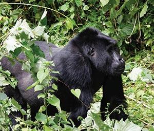 Chimps Safari Express, Uganda & Rwanda
