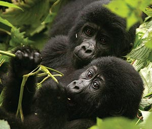 Double Gorilla Trekking Uganda