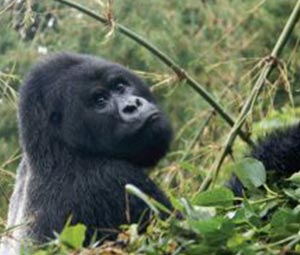 Gorilla Trekking Uganda from Rwanda